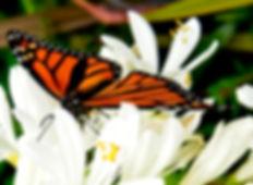 Monarch butterfly at Raglan NZ