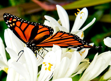 Monarch butterfly at Raglan NZ