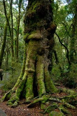 Beech Forest West Coast