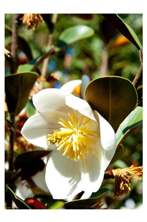 Magnolia Gracepies