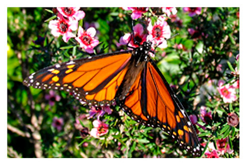 Monarch on Manuka