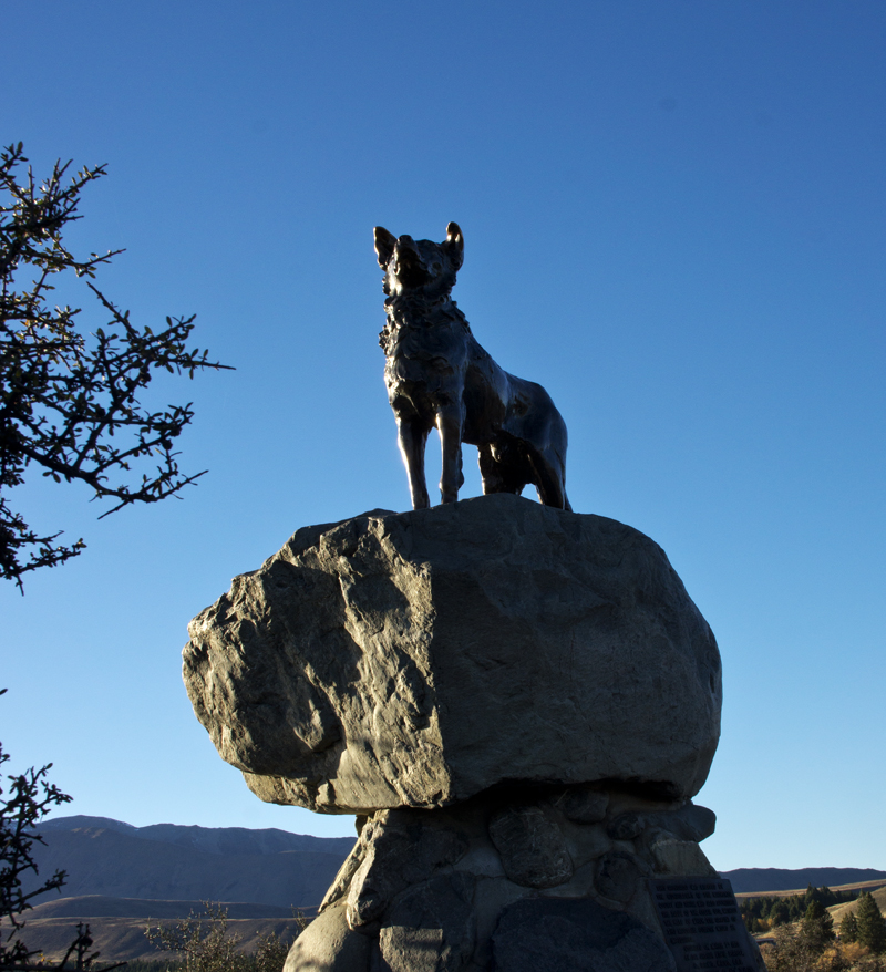 Tekapo Border Collie