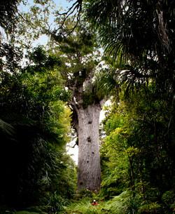 Tane Mahuta Giant Kauri