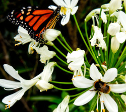 Monarch Butterfly with Bumble Bee