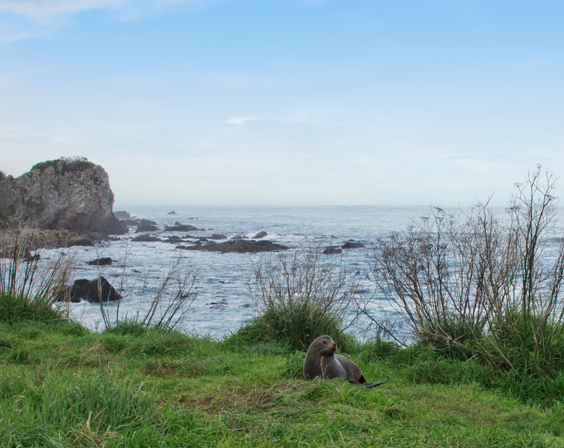 Roadside seals at Kaikoura