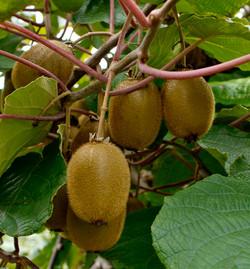 kiwifruit Tauranga NorthIs NZ