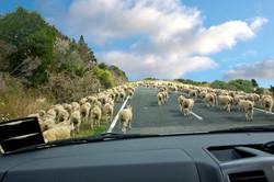 Sheep on the road Eastland NZ