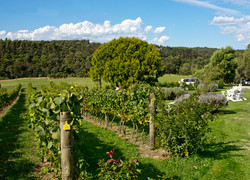 Waratah Vineyard