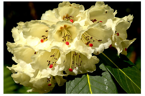 Pukeiti Rhododendron