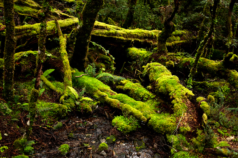 Ballroom Forest, Cradle Mountain