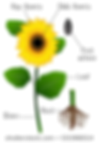 flower parts.png