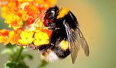 bumblebee21.jpg