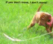 Vizsla Puppy pointing a  pheasant wing.