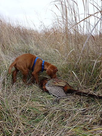 Young vizsla pup drags pheasant in the grass.