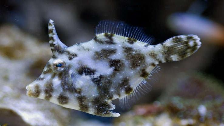 Matted Filefish