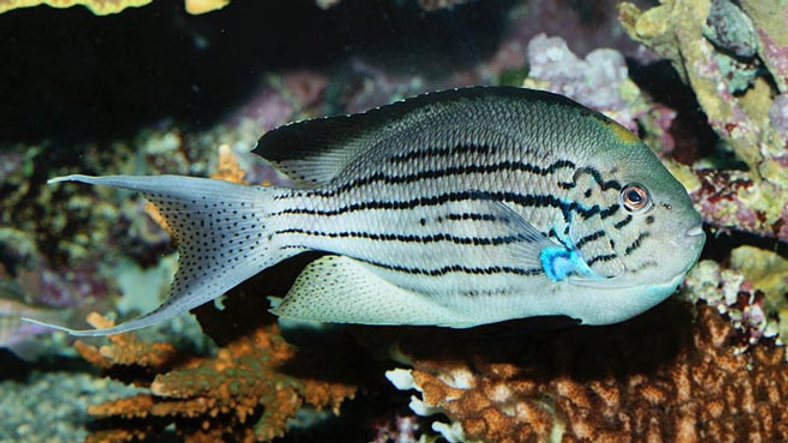 Striped Swallow Angelfish