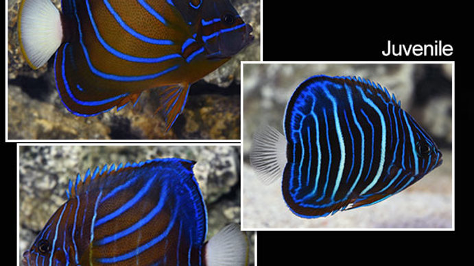 Blue-Ring Angelfish