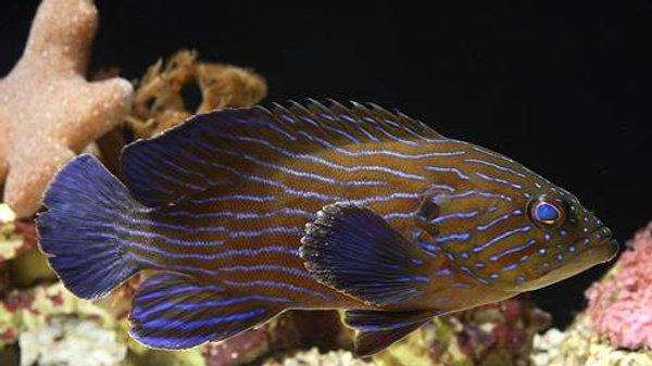 Blueline Boenacki Grouper