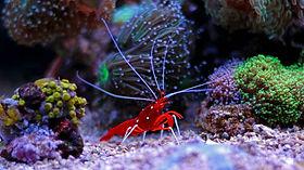 peppermint shrimp coral.jpg