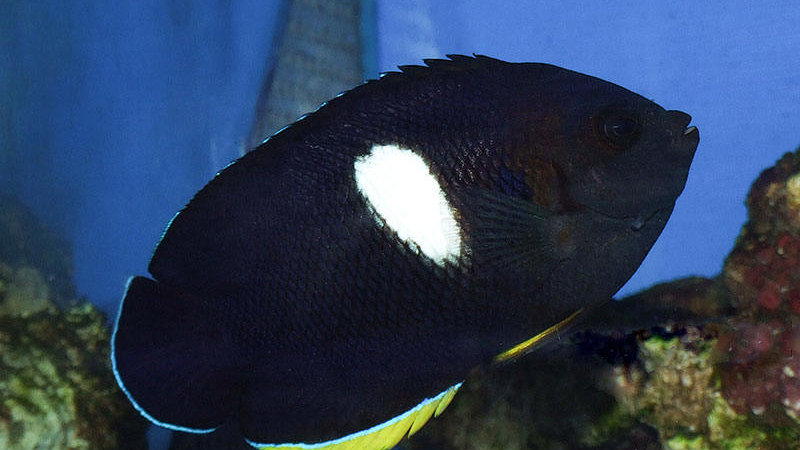 Keyhole Melas Angelfish