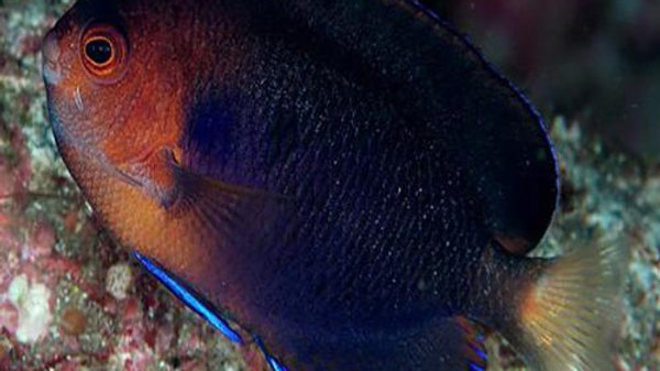 Pygmy Yellowtail Angelfish