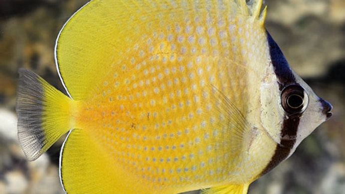 Orange Butterflyfish