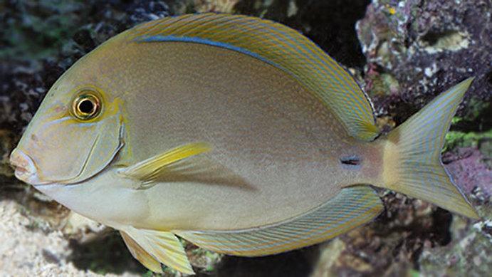 Ring-tail Surgeonfish