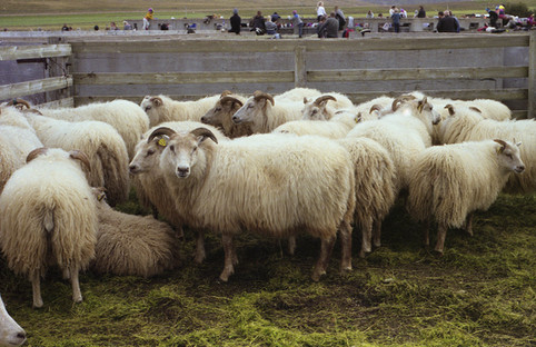 6 Closeup of waiting sheep.JPG