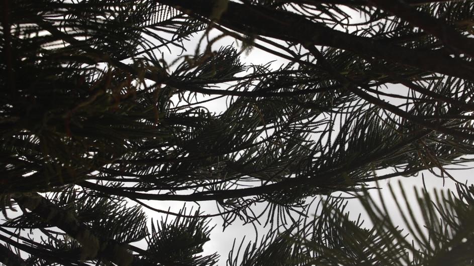 Still pine 1.jpg