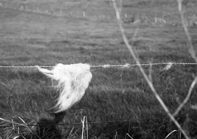 Iceland Sheep's Wool
