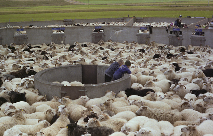 7 Children watch the sheep pour into the