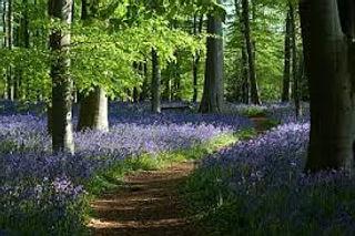 Bluebell wood.jpg