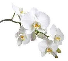 orchidee blanche.jpg