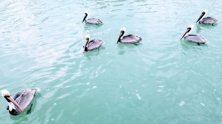 Pelicans swimming by the Dock
