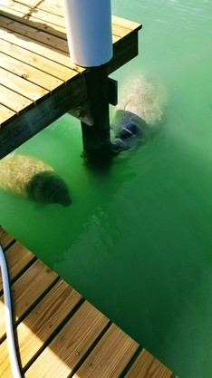 Manatee mother and her calf finding shade under the dock