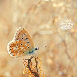 VH_Butterfly Motif