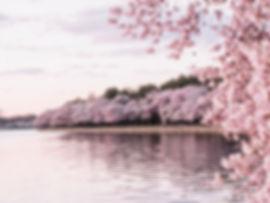 Washington DC Cherry Blossoms.jpg