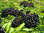Dried Elderberries Fruits