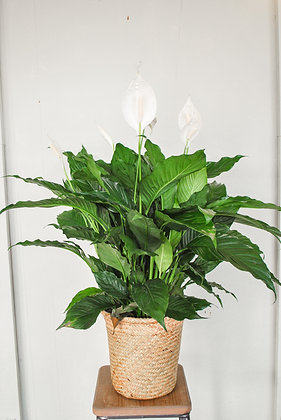 8 inch Peace Lily