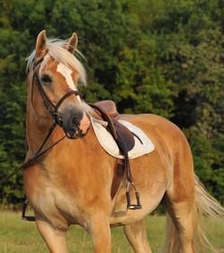 lafermeduboisdieu-bourgogne-avallon-gîte-chambred'hôtes-chevaux-haflingers-poneys