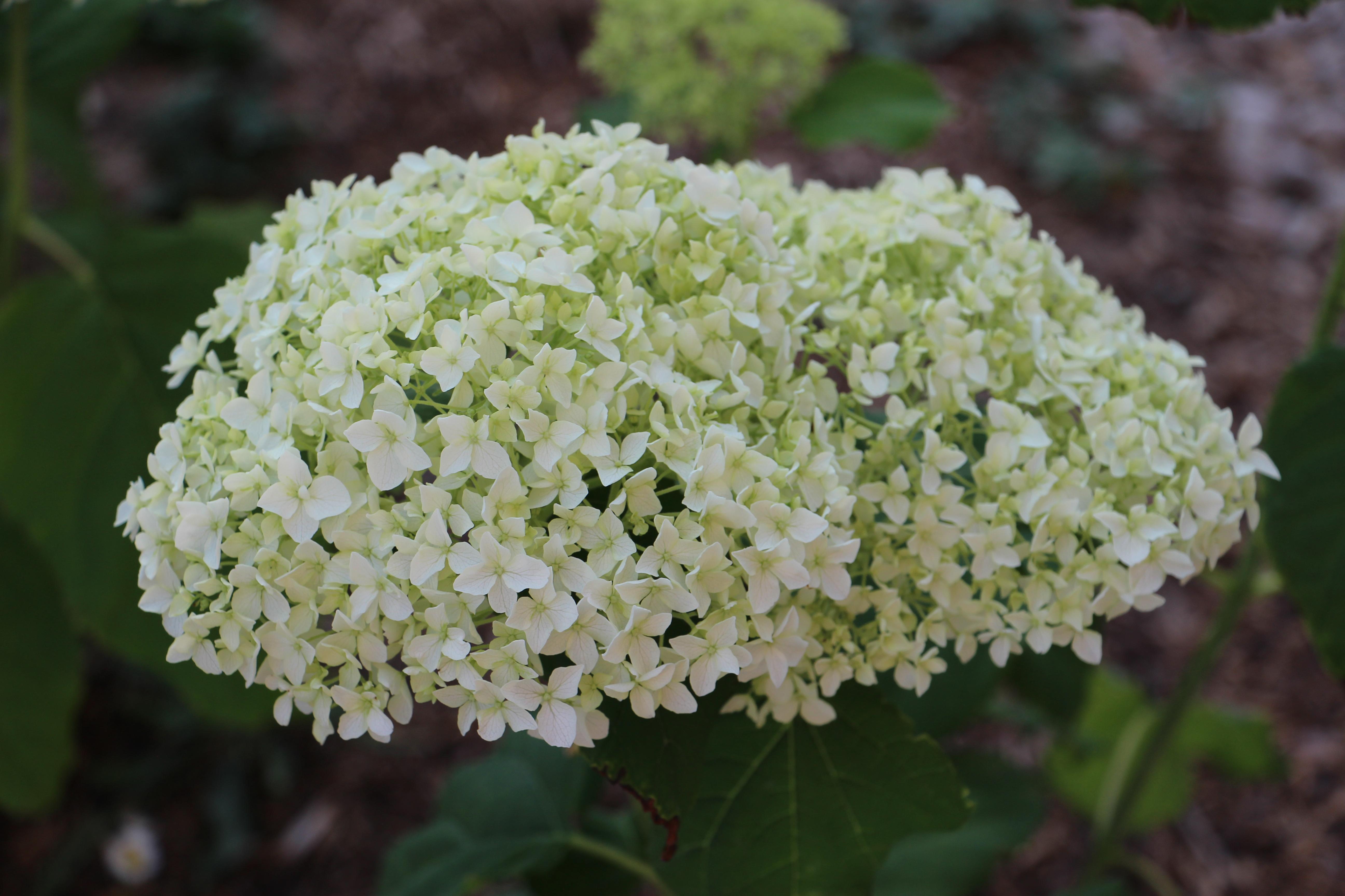 lafermeduboisdieu-bourgogne-avallon-hortensia