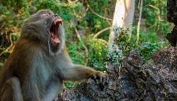 Monkey Fangs