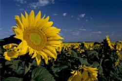 Sunflower Single