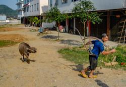 Man Pulling Cow