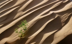 Plant in Sand Dune