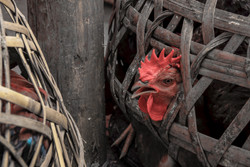 Rooster in Basket