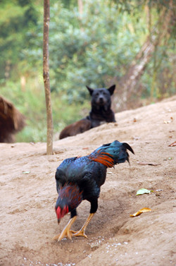 Rooster & Dog