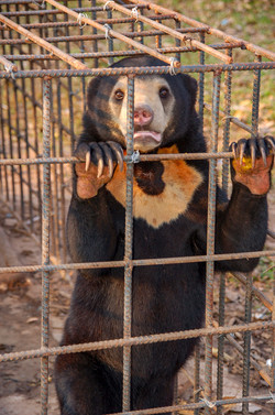 Bear in Cage 1
