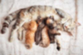 Canva - Mother cat nursing baby kittens.