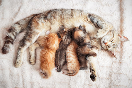 Canva - Mother cat nursing baby kittens.